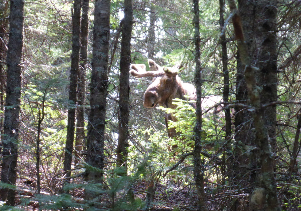 Moose on Isle Royale